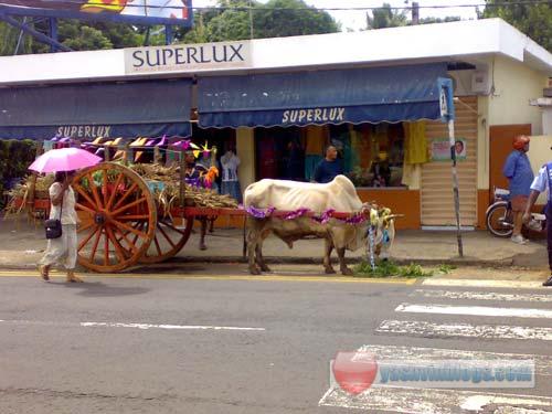 Advert Shooting Nestle Oxen Cart