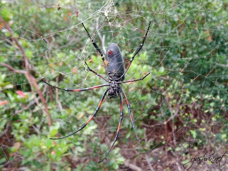 Spider Gorges