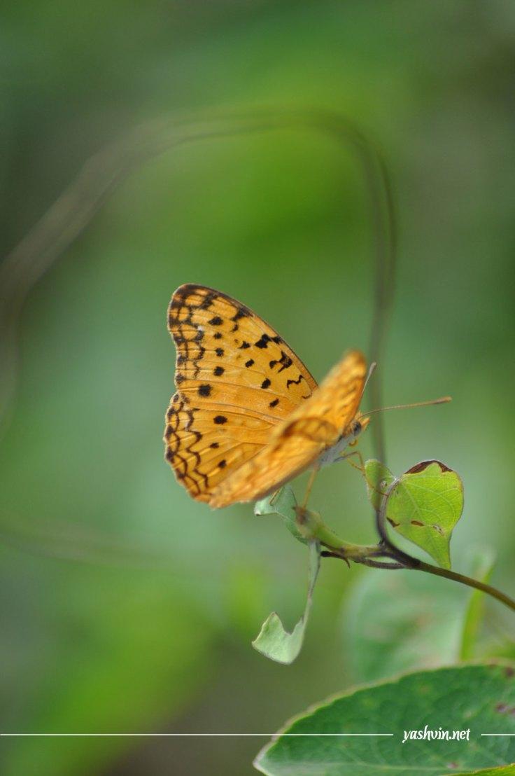 papillon-jaune